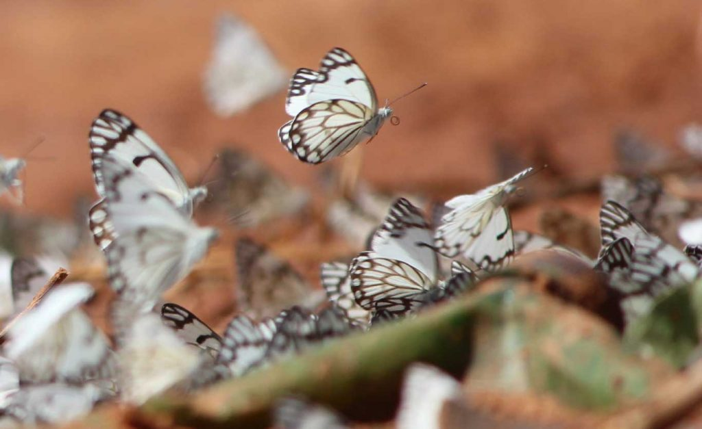 butterfly - Sudanese Wildlife
