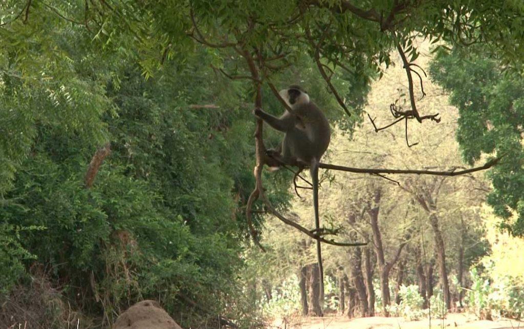 Monkey - Sudanese Wildlife